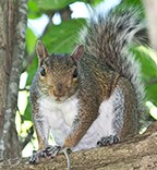 royal_ond17_Squirrel