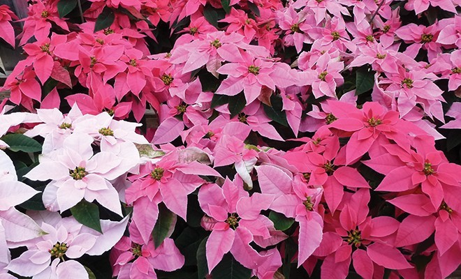 willey 4qt18 poinsettia pinks